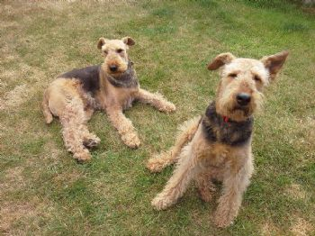 Another Airedale going to be re-homed