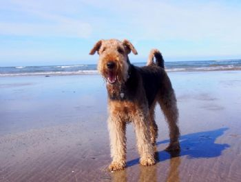 Rescue Airedale Daisy finds a new home