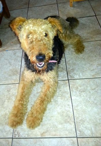new airedale home for Suzy