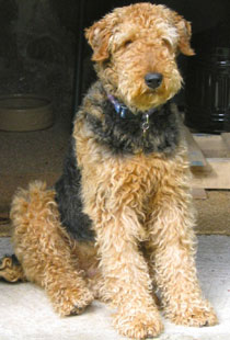 Airedale Rescue | Rescue and Rehoming Airedale Terrier ...