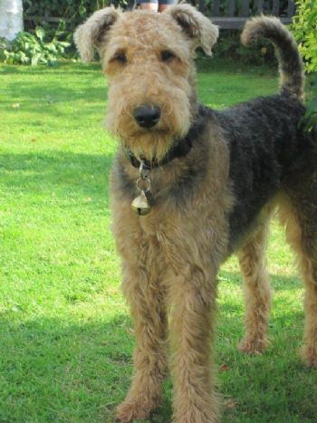 Airedale Cassie