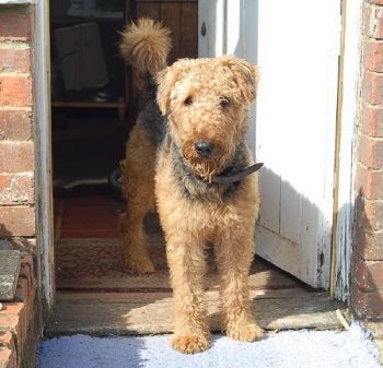 Airedale Billy