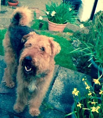 Another Airedale finds a new home