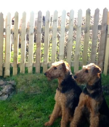 Airedale bitch re-homed