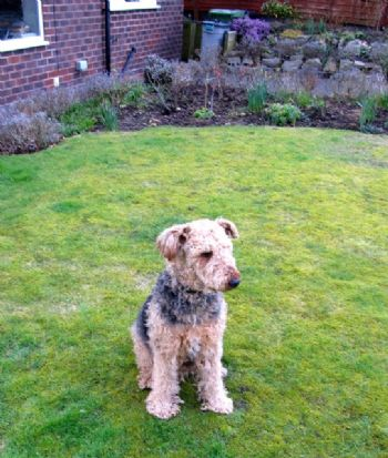 Airedale re-homer in new home