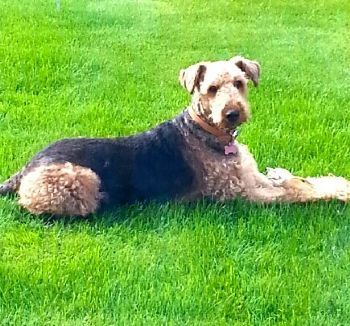 Airedale rescue re-home Tilly