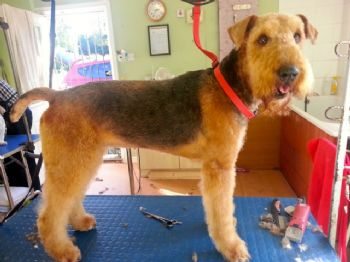 airedale re-homer Molly having a groom