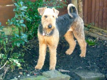 young Airedale rescue finds a home
