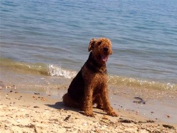 Airedale on the beach