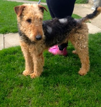 Airedale rescued in east anglia