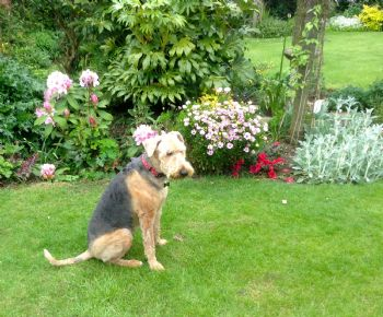 Airedale rescued in Kent