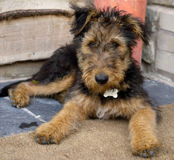 Coni was a puppy when she was rescued by Airedale Rescue and Rehoming
