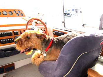 Airedale Maddie cruising in style