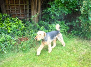 re-homer Airedale dog Dexter