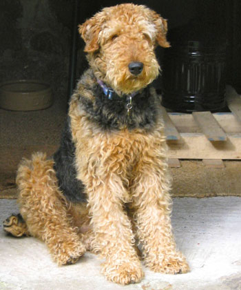 Cassie was successfully rehomed by Airedale Rescue
