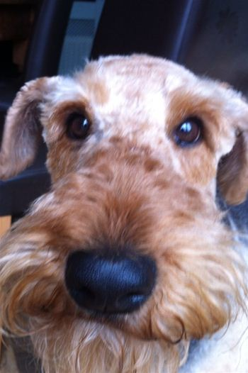 An Airedale Girl