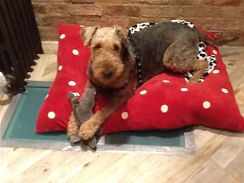 Airedale Gelert in his new home