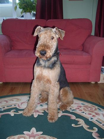Airedale Muddles after a hair trim