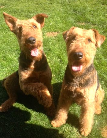 recent rescue Airedales