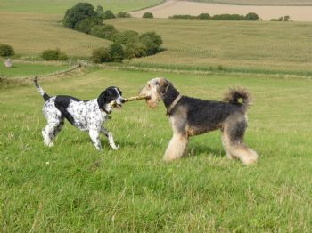Moss is an Airedale just re-homed