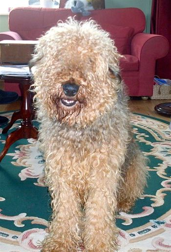 Muddles was successfully rehomed by Airedale rescue