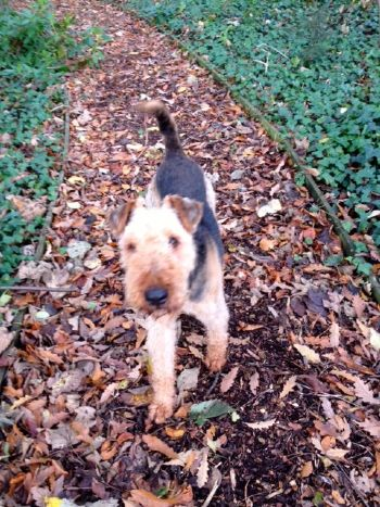 Airedale Teddy finds a new home
