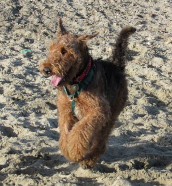 Airedale rescue re-home a boy to the south