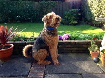 Airedale Reilly re homed to Cheshire