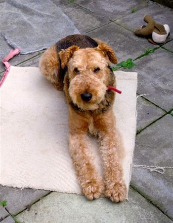 Airedale terrier Rex