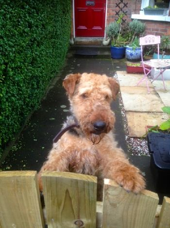 Airedale rescue in N.Ireland