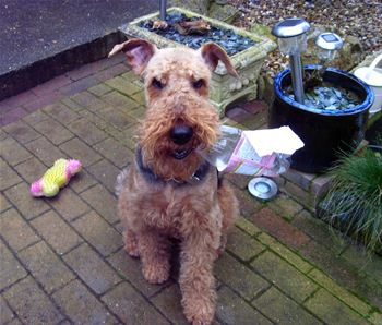 Sophie is an Airedale that was rehomed last month