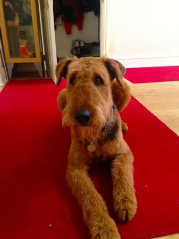Rescued Airedale