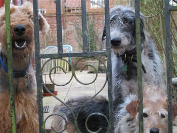 Wookiee with friends after being rescued by Airedale rescue