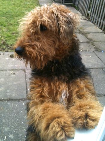 Wookie was rescued by Lynda McCarthy of Airedale Rescue and Rehoming